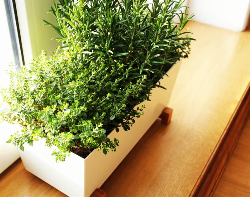 Society Story: #3 Rosemary cleanses the air from germs