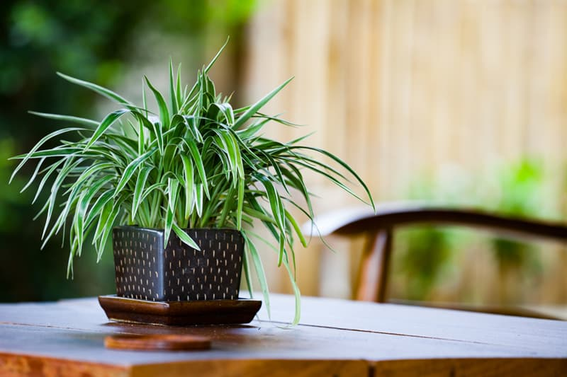 Society Story: #4 Spider Plant removes air toxins (formaldehyde and xylene)