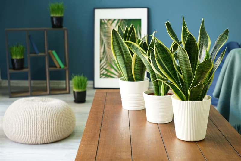 Society Story: #5 Snake plant  improves air quality. It's better to have several  snake plants
