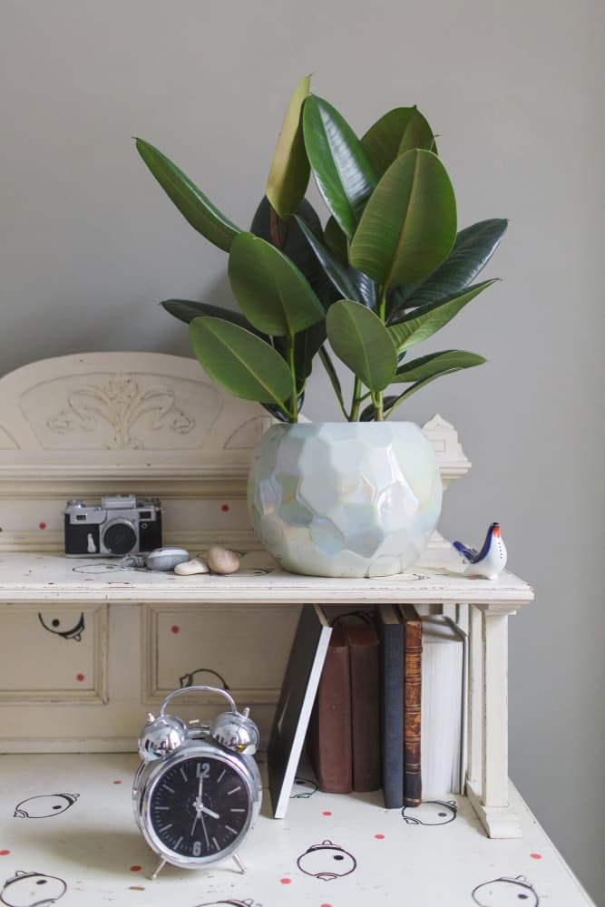 Society Story: #6 Rubber plant absorbs all air pollutants