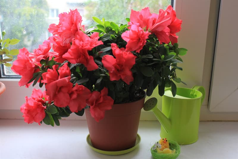 Society Story: #7 Azalea absorbs chemicals and with that improves indoor air