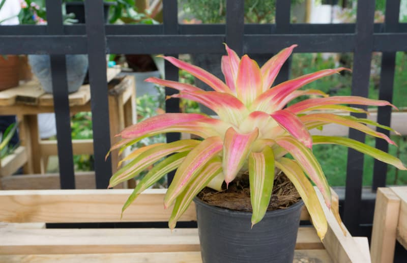 Society Story: #8 Bromeliads absorb benzene. Don't forget  that this plant  grows in a well-lighted place