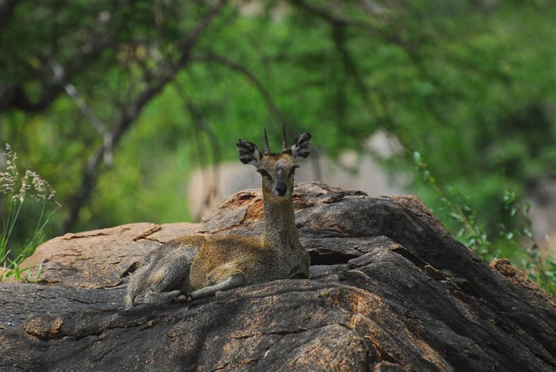 Nature Story: #3 The biggest threat to dik-diks are humans – some people hunt them for their skin to make gloves.