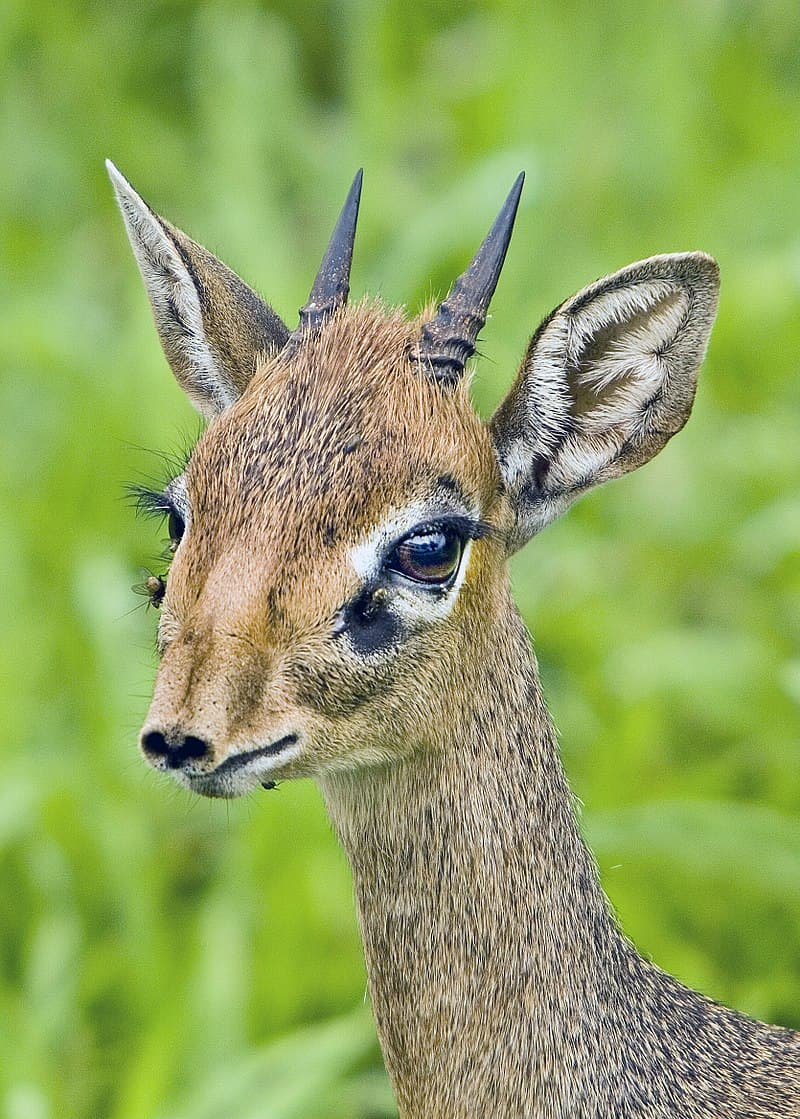 Nature Story: #5 Male dik-diks have small black horns (3 in or 7.6 cm)