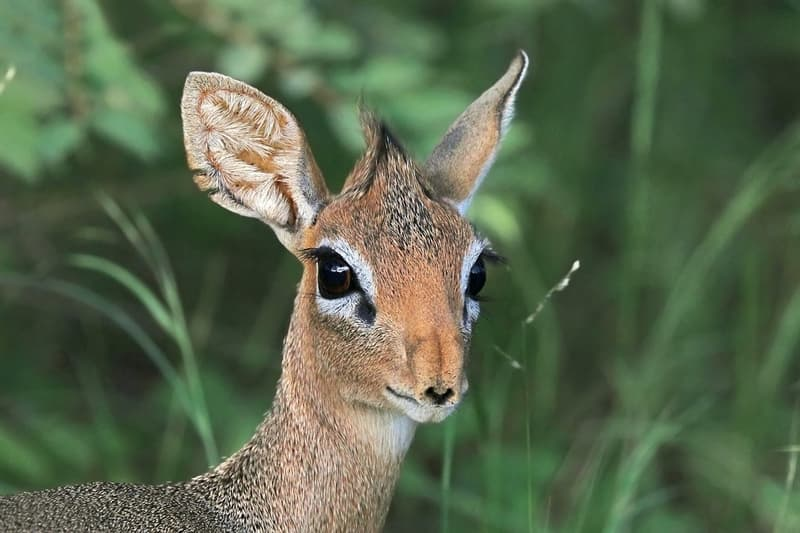 Nature Story: #6 The black spots in the corner of their eyes are preorbital glands – they produce special secretion dik-diks use to mark their territory.