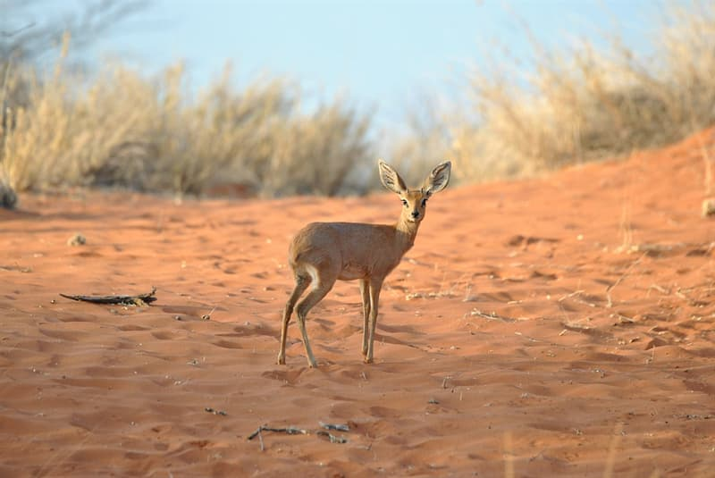Nature Story: #7 Dik-diks successfully survive in highly arid regions, as they lose very little water from their system while exhaling thanks to their hairy proboscis. They are also excellent at controlling their body temperature and metabolic rate.
