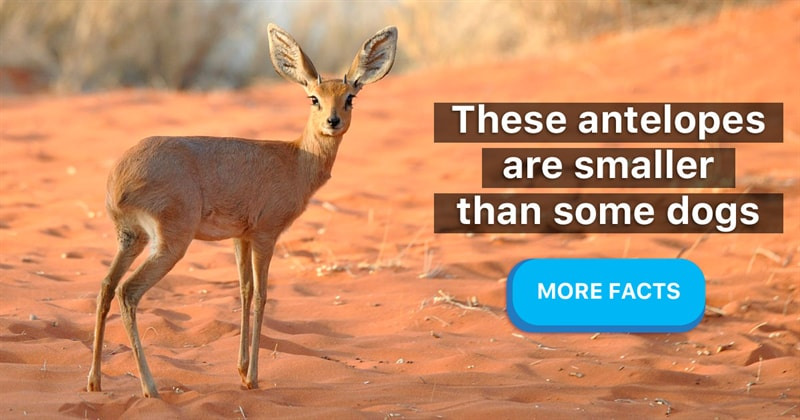 Nature Story: 7 adorable facts about dik-diks, the cutest tiny antelopes