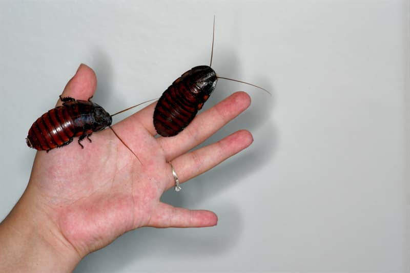 Nature Story: #2 Madagascar Hissing Cockroaches