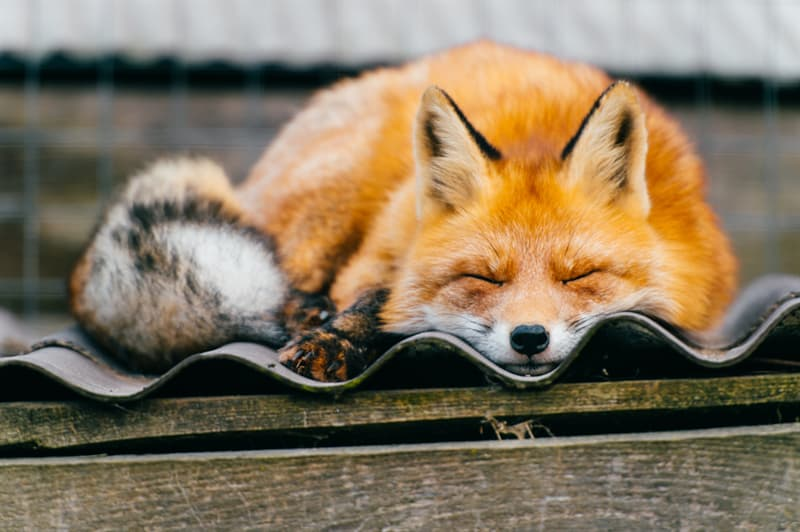 Nature Story: Beginning of Russian Pet Fox domestication cute animal