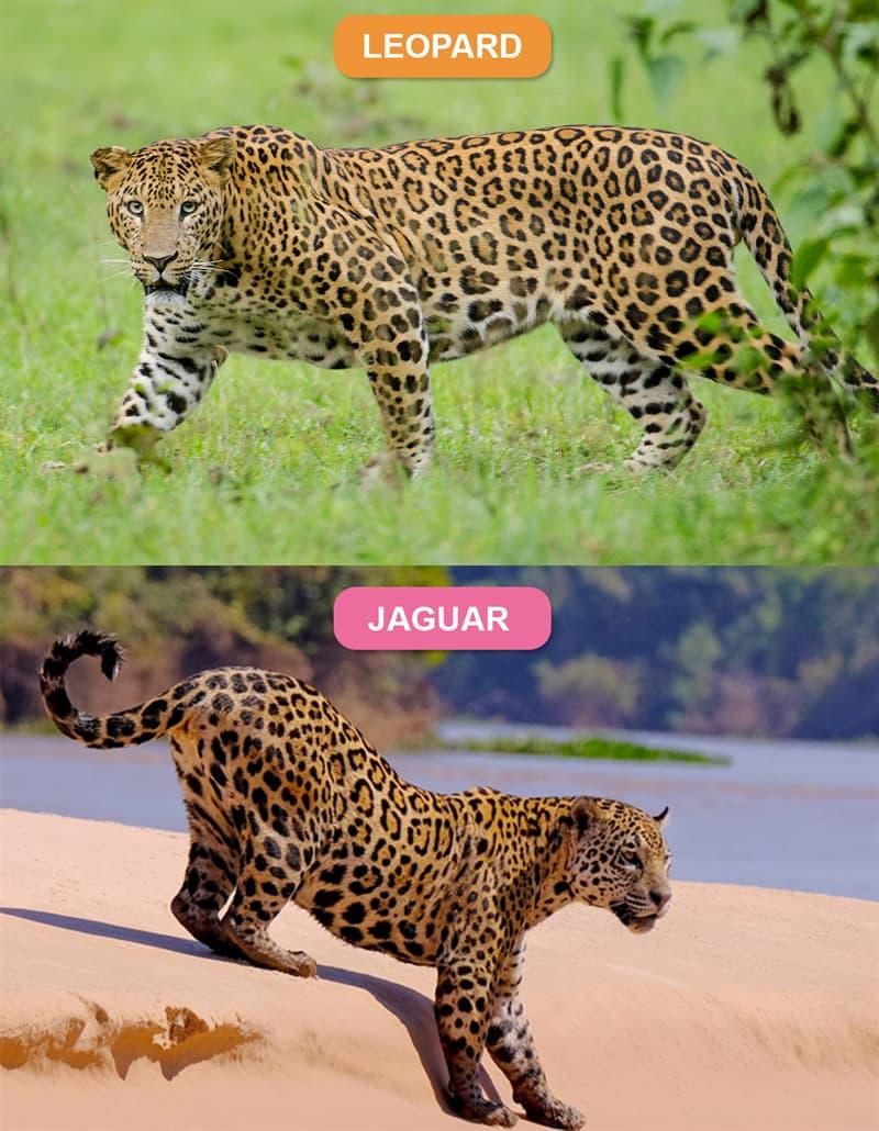 Nature Story: #2 Leopard vs. Jaguar