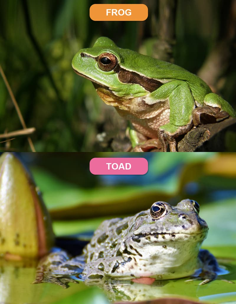 Nature Story: #4 Frog vs. Toad
