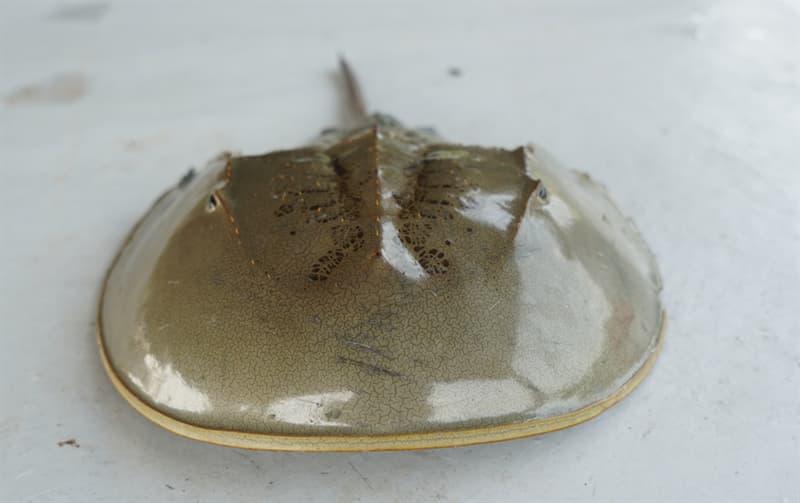 Science Story: #3 Horseshoe crab blood - $53,000