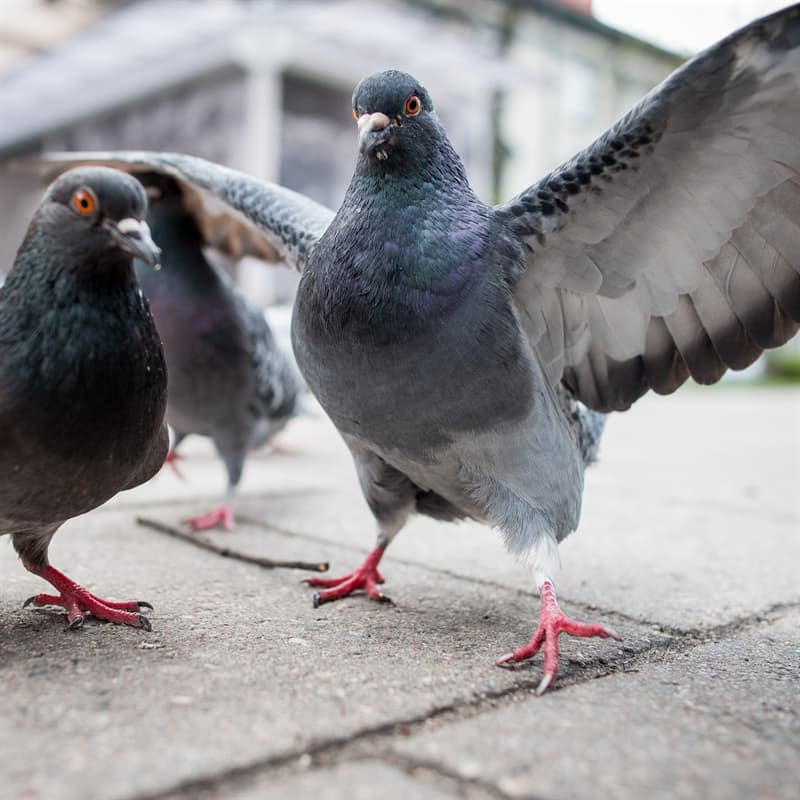 Nature Story: Fun domesticated pigeon facts
