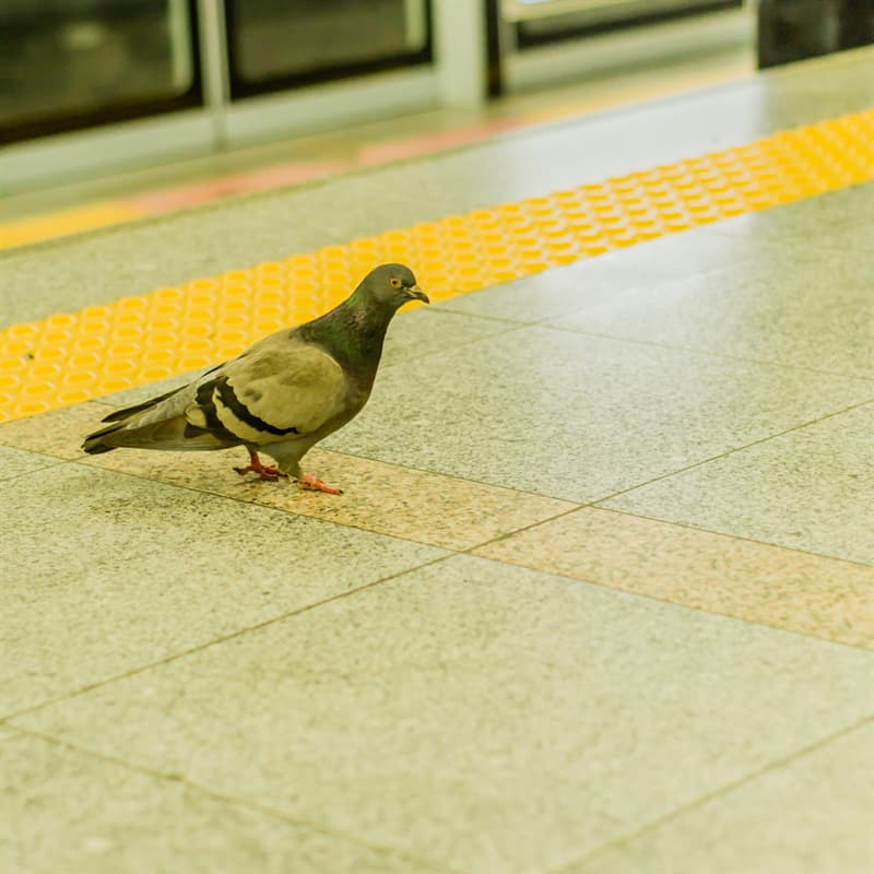 Nature Story: Fun pigeon facts: can pigeons ride the subway