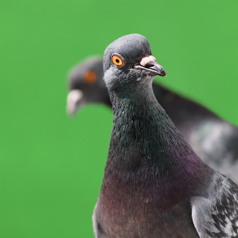 Nature Story: Can pigeons recognize people