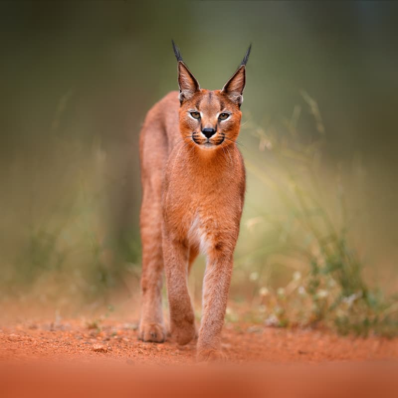 Nature Story: Caracal facts ears
