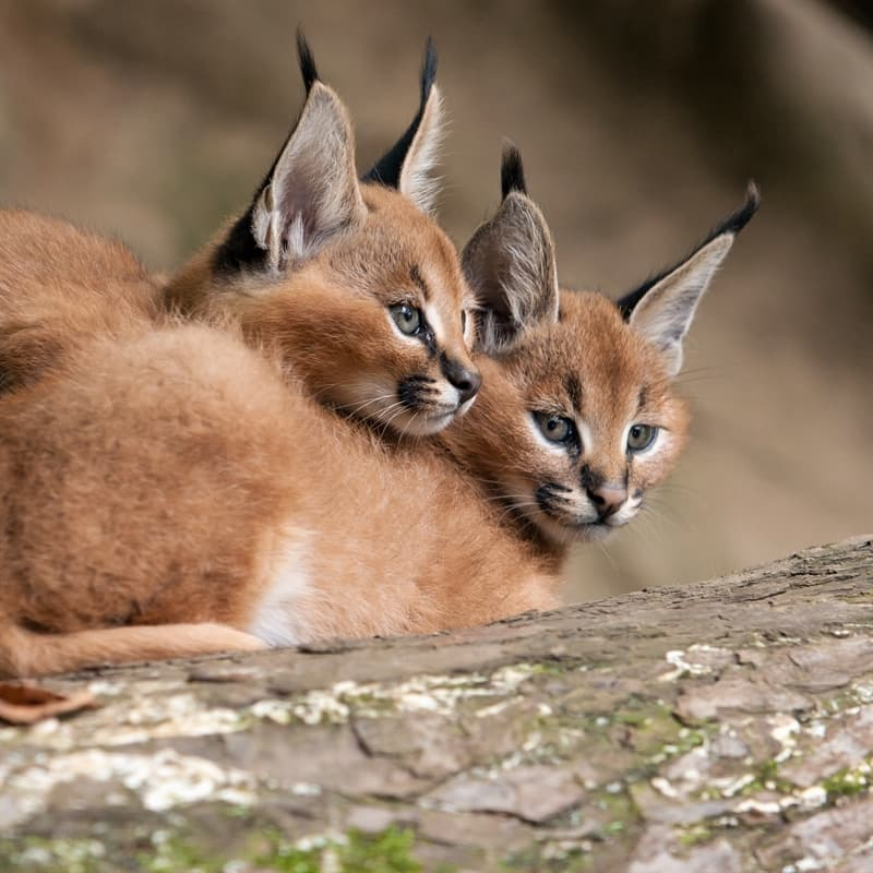 Nature Story: Caracal facts fast