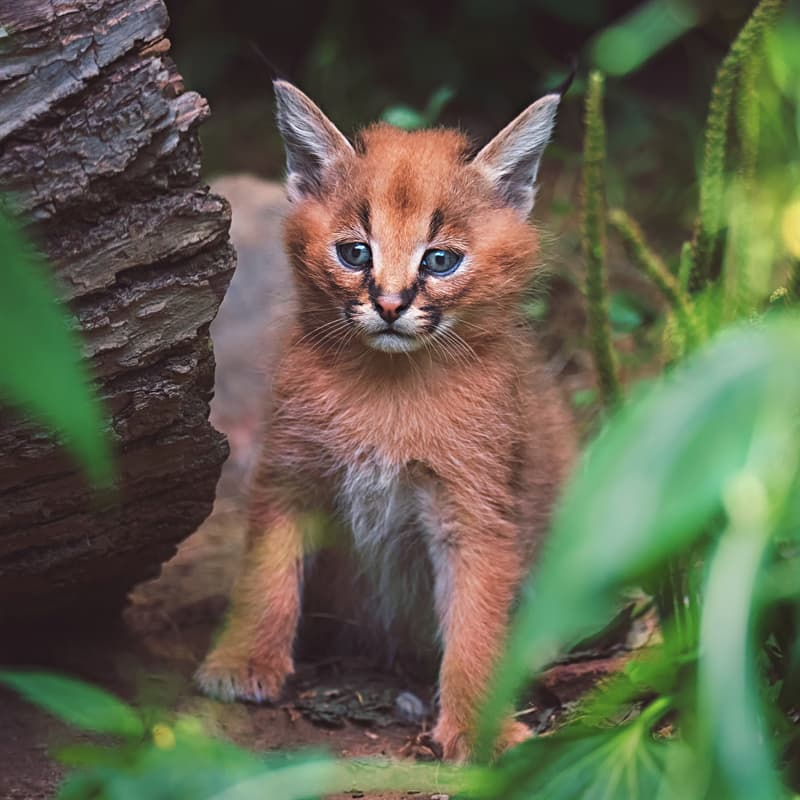 Nature Story: Caracal baby
