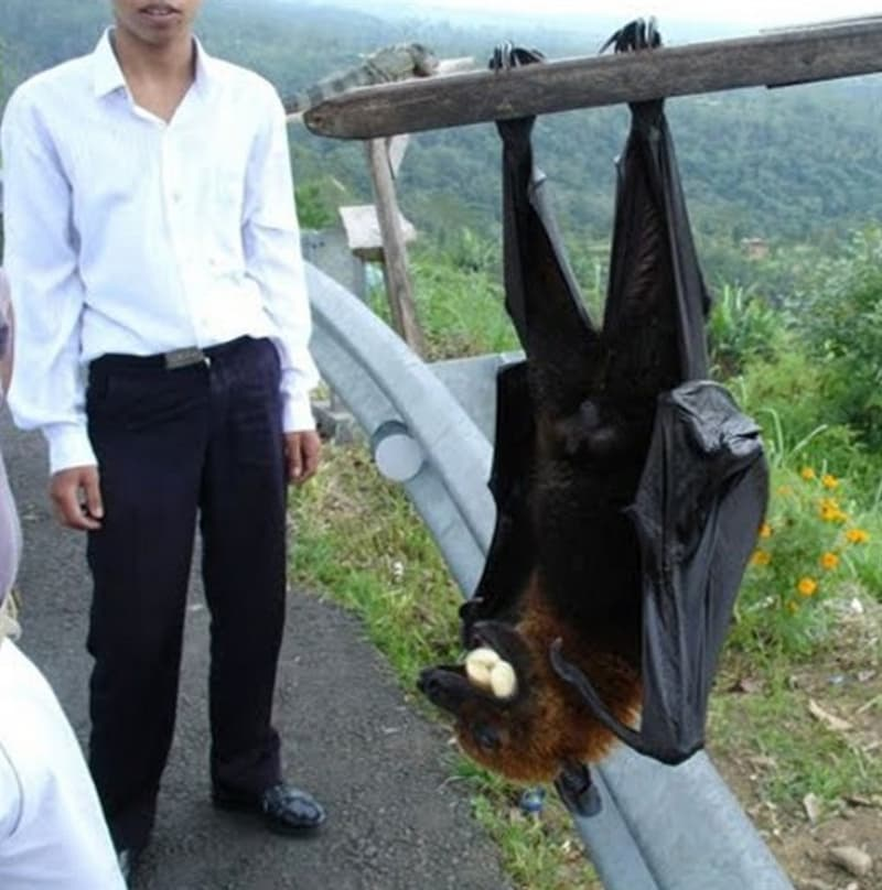 Nature Story: giant golden crowned flying fox diet