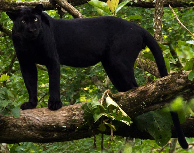 Nature Story: Melanistic leopard black animals