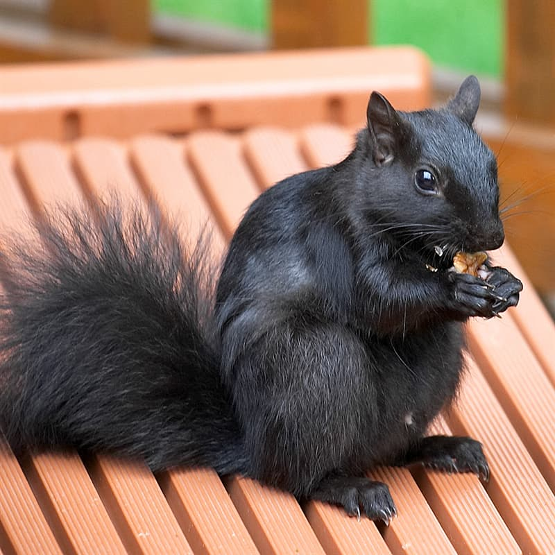 Nature Story: melanistic squirrel black animals