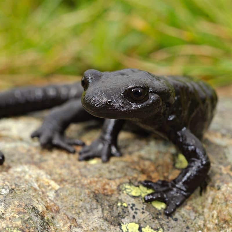 Nature Story: melanistic salamander black animals