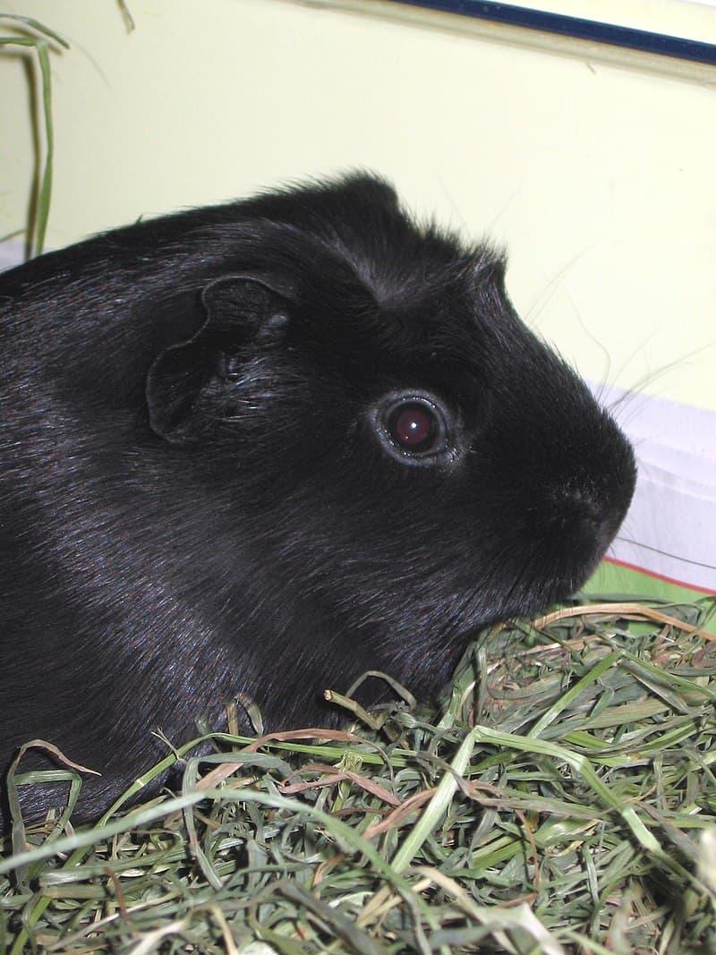 Nature Story: Black guinea pig melanistic animals