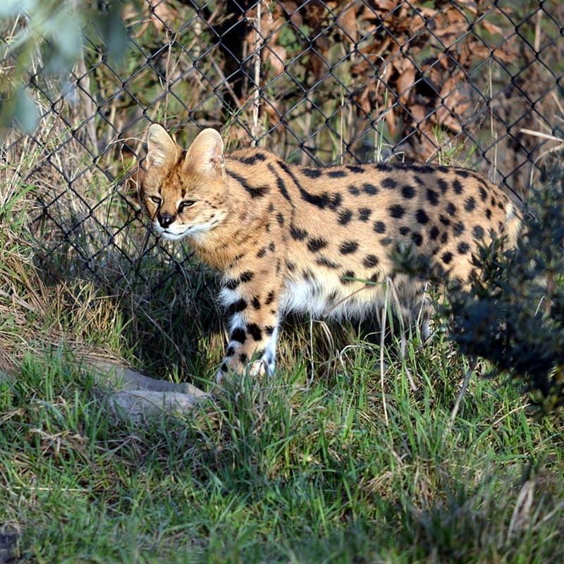 Nature Story: Melanistic serval black animals