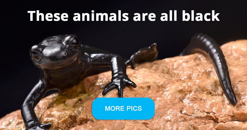 Nature Story: 7 pictures of unusual all black animals