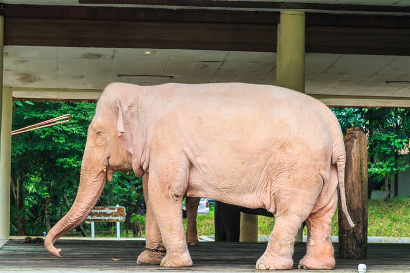 animals Story: White elephant's real color