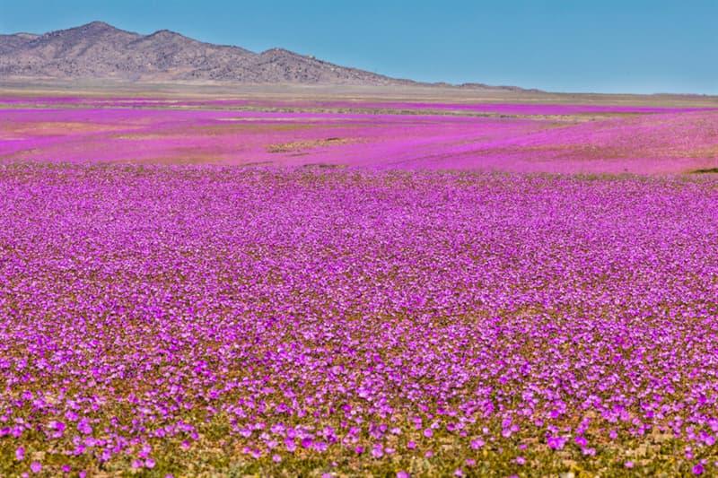 Nature Story: Flowers in Atacama Desert