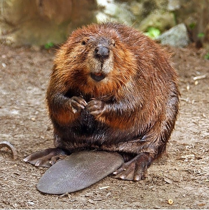 Culture Story: Weird holidays in April 2020 Beaver Day 2020