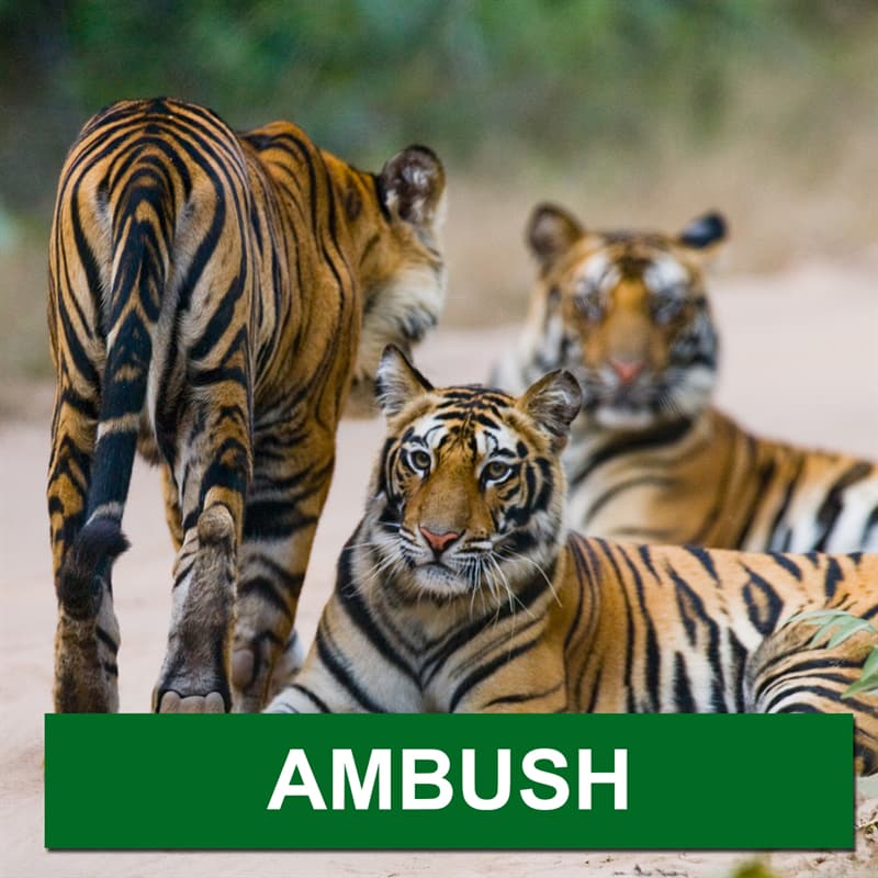 Nature Story: What is a group of tigers called?