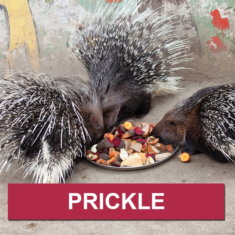 Nature Story: What is a group of porcupines called?