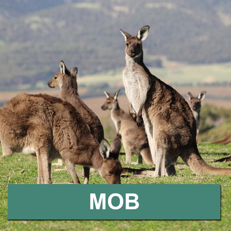Nature Story: What is a group of kangaroos called?