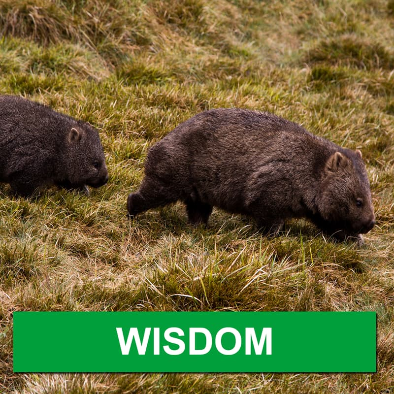 Nature Story: What is a group of wombats called?