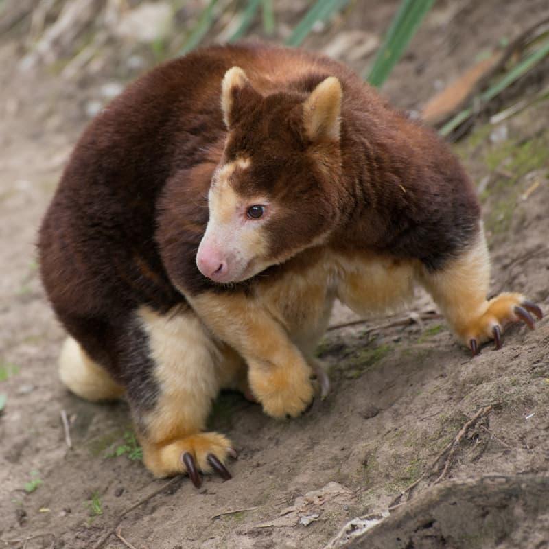 Nature Story: Tree kangaroo adaptations
