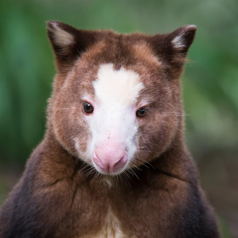 Nature Story: Tree kangaroo facts