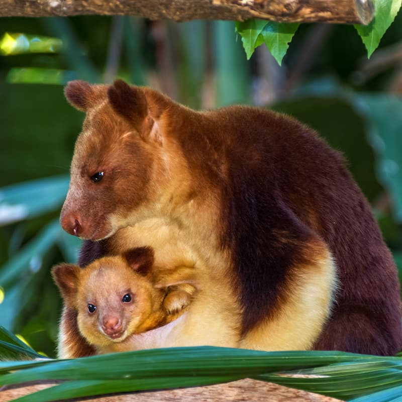 Nature Story: Tree kangaroo baby