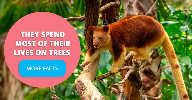 Nature Story: 5 cool facts about the tree kangaroo