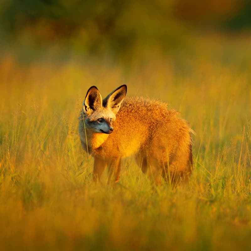 Nature Story: bat-eared fox facts termites