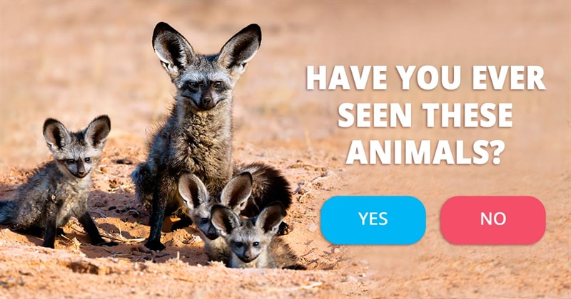 Nature Story: 5 facts about bat-eared foxes