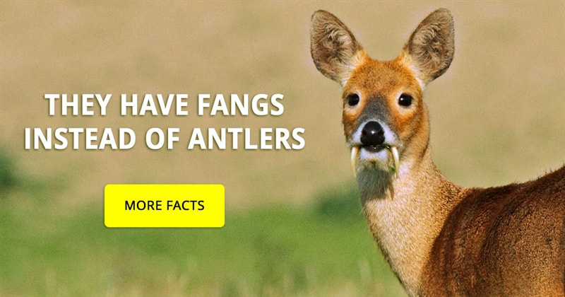 Nature Story: Unusual deer with fangs – 7 things you didn't know about them