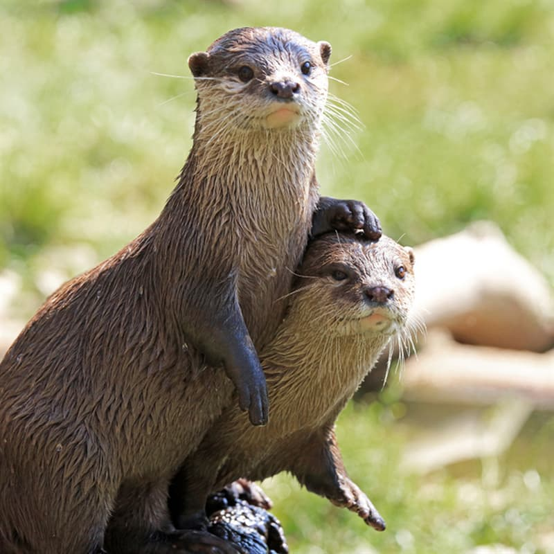 Nature Story: Animals that use tools sea otters