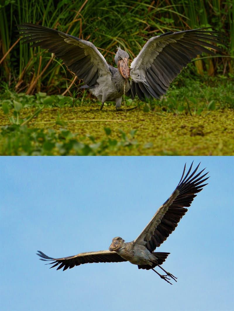 Nature Story: Shoebill stork size