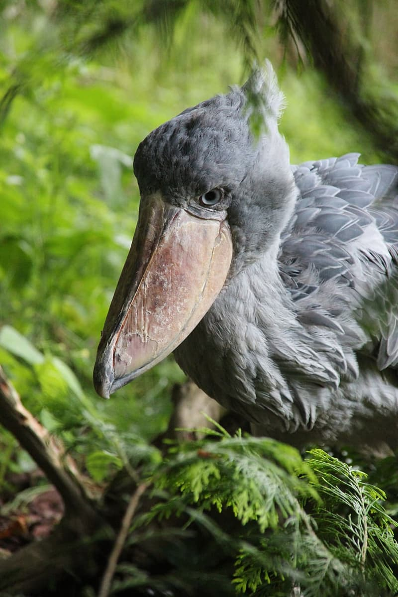 Nature Story: #5 Being widely known as the 'shoebill stork', the shoebill belongs to the same order as pelicans, not storks