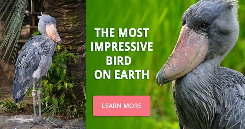 Nature Story: 5 outstanding facts about the amazing shoebill