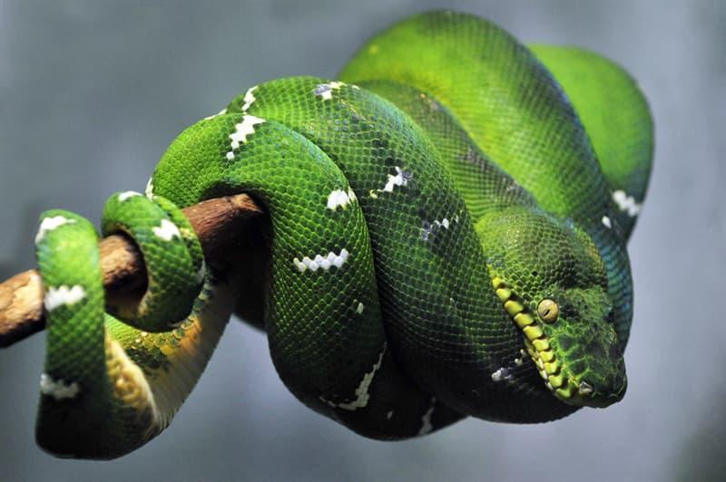 Nature Story: Emerald tree boa snake