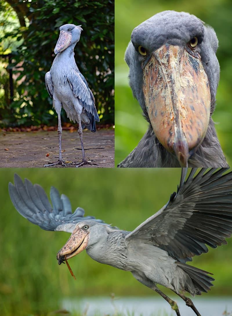 Nature Story: Shoebill birds with weird beaks