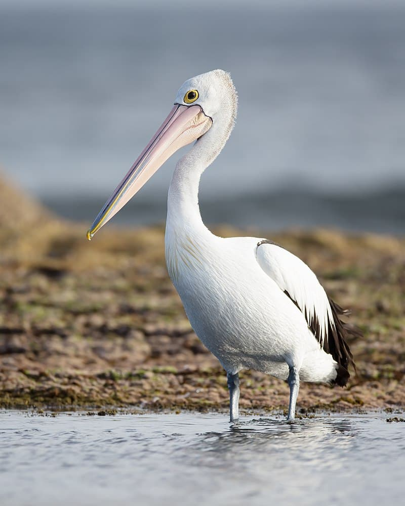 Nature Story: Australian pelican the largest bill in the world